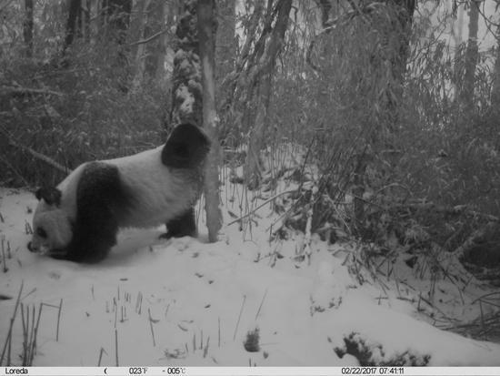 卧龙野生大熊猫进入发情期 多次被拍到圈地恋爱