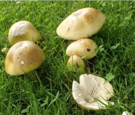 温哥华惊现致命毒蘑菇!模样普通,极难识别……
