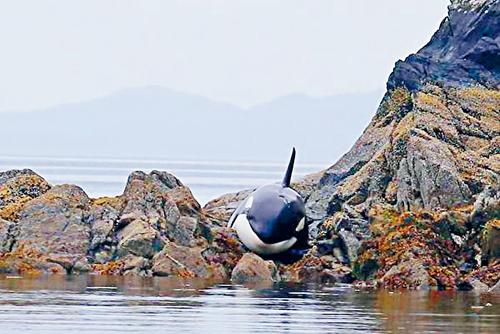 加拿大搁浅小虎鲸哭泣求救!路人6小时接力相救
