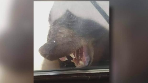 250磅黑熊尾随2岁女童入屋 赶都赶不走遭击毙