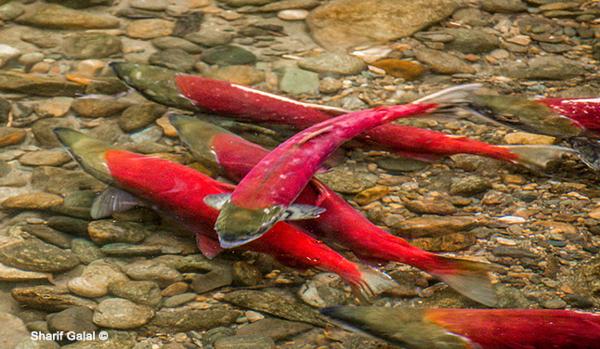 加拿大三文鱼洄游快要开始了!今年去哪看?