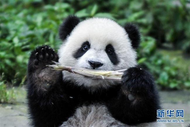 """我们的国宝大熊猫又有了""""新家园""""啦"""