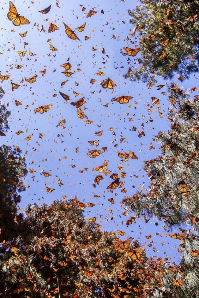 墨西哥黑脉金斑蝴蝶群迁徙 场面十分壮观