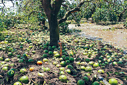 飓风毁佛州果园 橙汁太贵!学者喊你去喝苹果汁