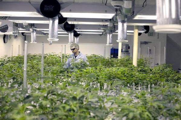 最新调查:50%尊宝娱乐人想要尝试大麻产品