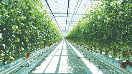 番茄农场为钱改种大麻  利润高15倍