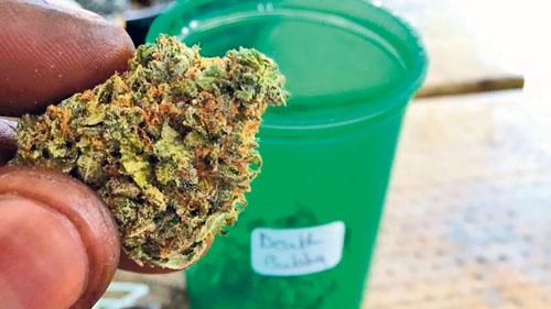 大麻合法化收逾2万意见 卑诗或准公私营店销售