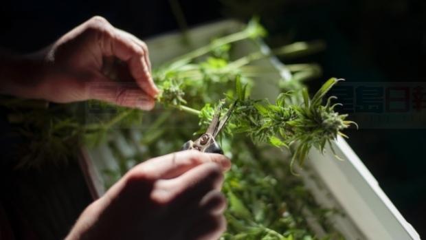 联邦政府建议合法大麻税为每克大麻至少收$1元税