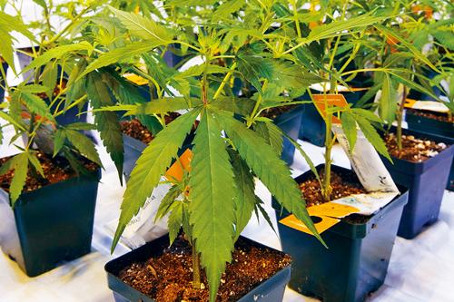 众议院以200对82票 通过大麻合法化法案