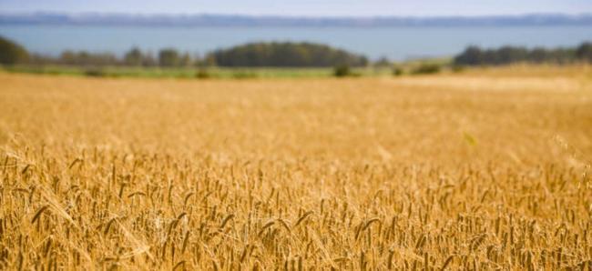 价低质好 中国积极在加拿大采购大麦