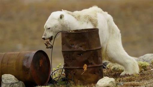 加拿大北極熊翻垃圾桶找食物 骨瘦如柴瀕臨餓死