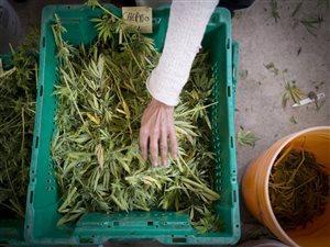 大麻还没开卖 各级政府已开始讨论如何利润分成
