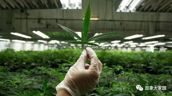 堕落的国家?!加拿大开始全民投资大麻