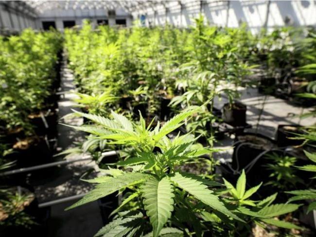 农民连菜都不种了 加拿大全民投资大麻业
