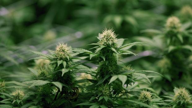 奇葩啊 优发国际高等院校开始为大麻产业输送人才