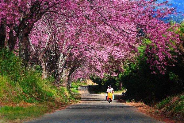 春天还没来 这个地方却已迎来樱花全盛