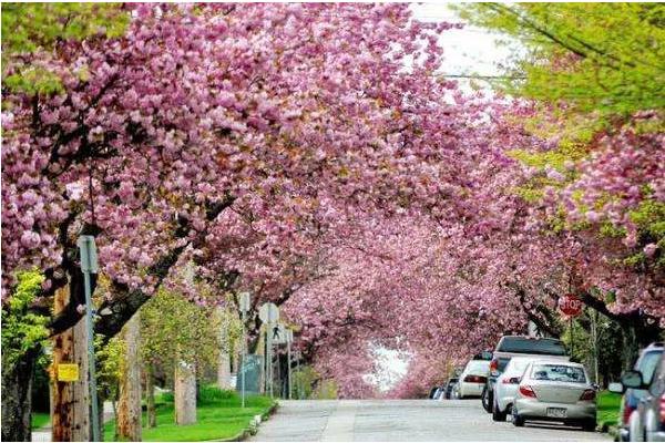 加拿大粉色春日的赏樱攻略 投食你的少女心