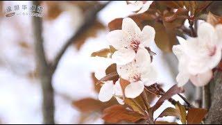 樱花雪月 --- 樱花初开的美丽温哥华