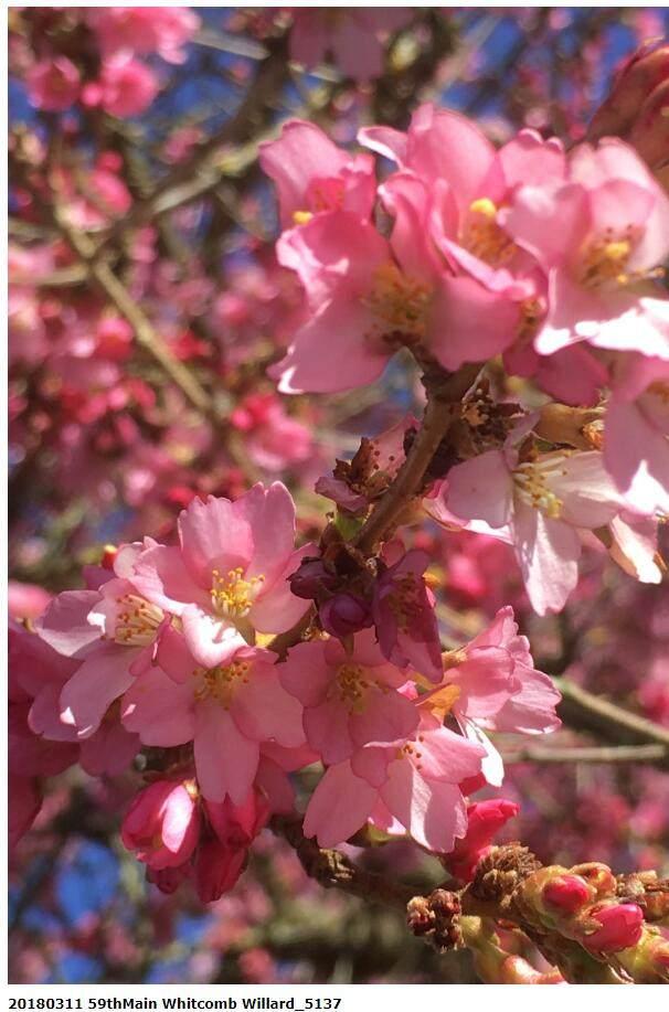 温哥华樱花已盛开!盛大樱花节等你来