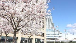 春天的气息 温哥华市中心的樱花盛开