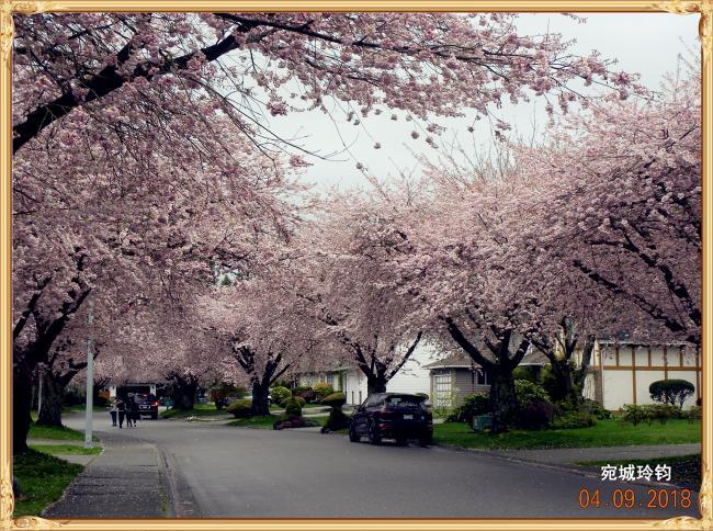 最美四月温哥华 倾城无处不飞花