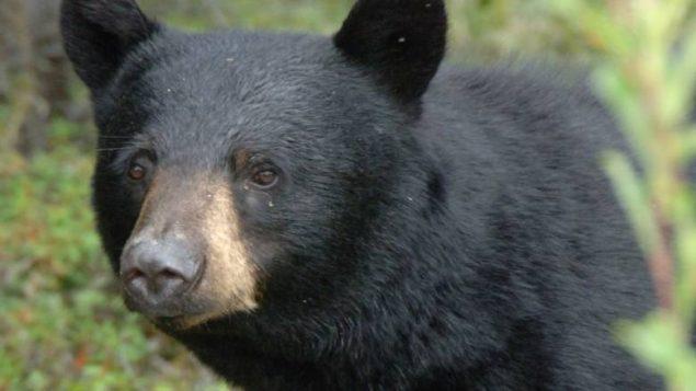 black-bear-635x357.jpg