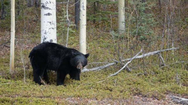 northern-b-c-black-bear.jpg