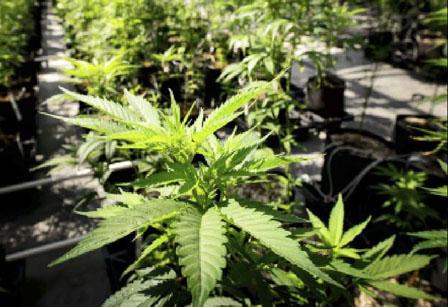 推合法市场取缔黑市大麻 美国经验:增税收难实现