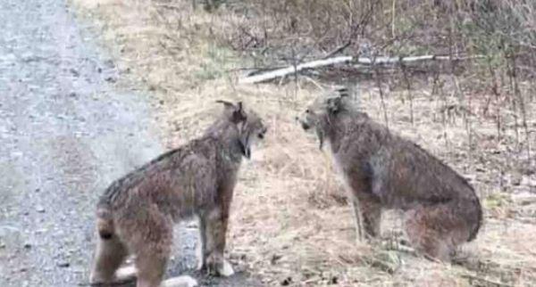 安省小伙路见两只大山猫好勇斗狠 全拍下来了