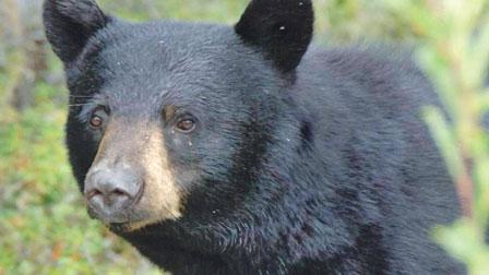 小狗跳出车挑衅遭黑熊咬死 贾斯帕国家公园现意外
