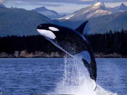 BC南部海域一头虎鲸失踪 推测或已死亡