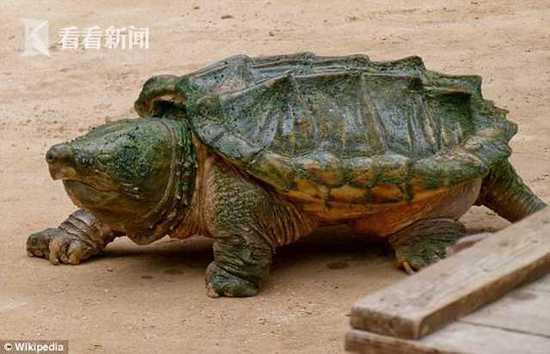 美国男子野外抓鳄龟准备大餐 剖其胃发现人类手指