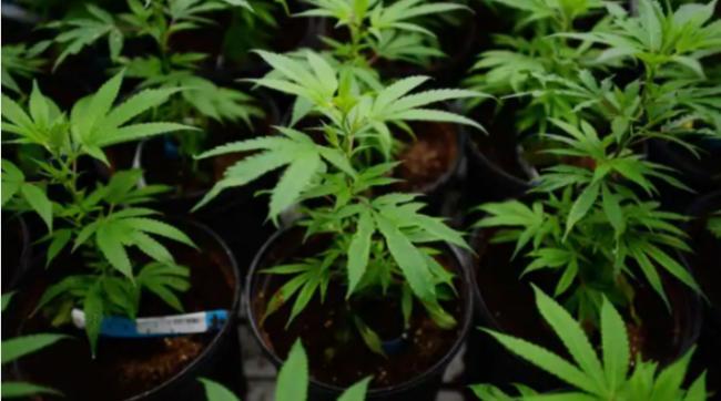 真的吗 保险公司说抽大麻不会让保费上涨