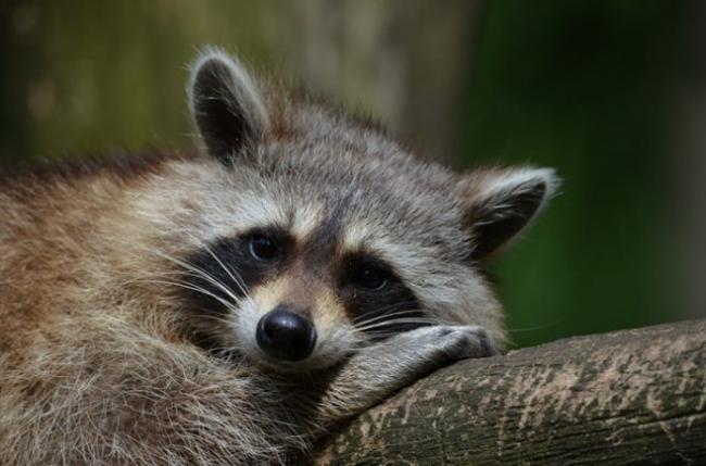 180706_us_Weld-County_raccoon2-696x460.jpg