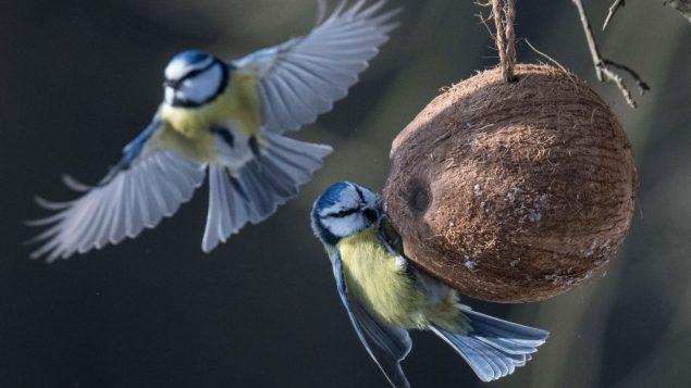 请鸟儿吃饭要得法:魁省小城就如何喂鸟制定新规