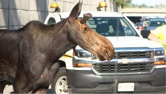 尊宝娱乐首都早高峰高速路闯进一大驼鹿,结果...