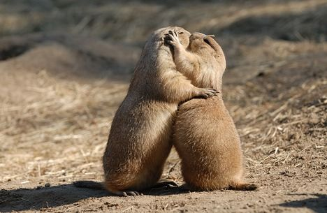 prairie-dogs-kissing.jpg