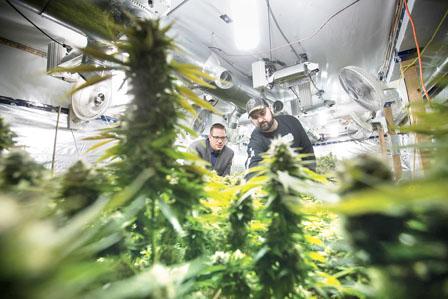 申请开大麻种植场遇市镇刁难 迄今仅23宗申请