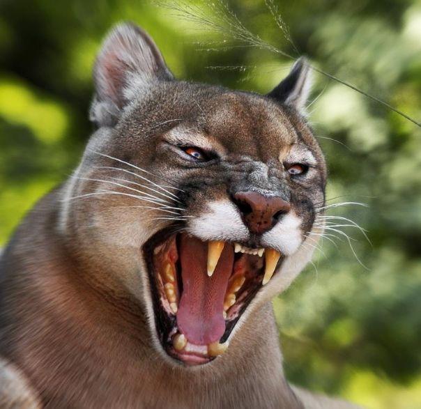 恐怖! 女子在自家后院遭美洲狮撕咬 老公在屋里喝茶看电视 毫无察觉...