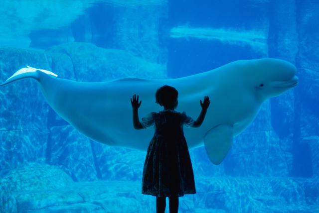 beluga_vancouver_aquarium.jpg