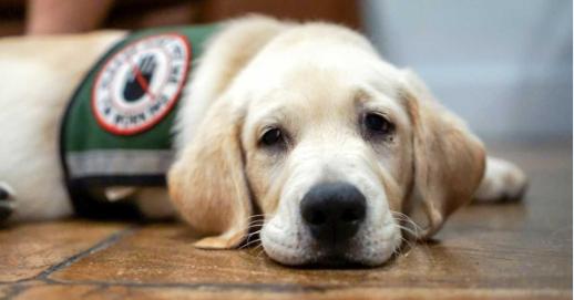 可爱又听话 你想收养一只未达标的服务犬吗?