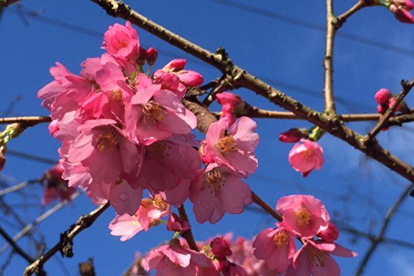 雨雪挡不住 温哥华4万棵樱花等春来