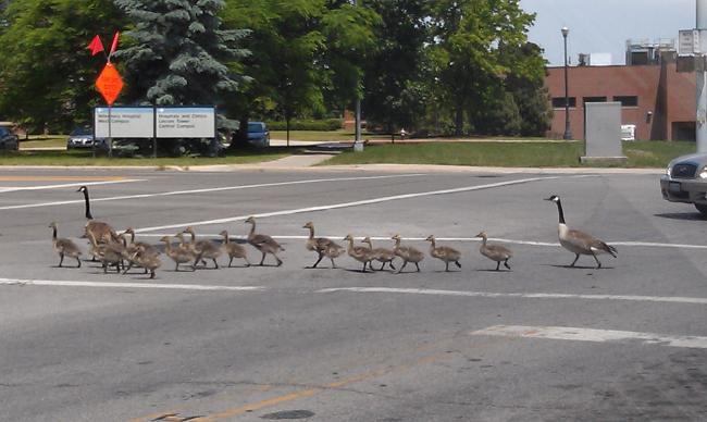 crosswalk geese.jpg