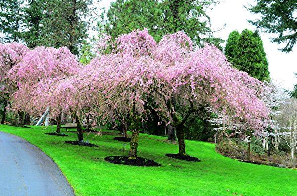 每年的3、4月份,温哥华樱花盛开。图为温哥华范度森植物园(VanDusen Botanical Garden)的樱花。(iStock)