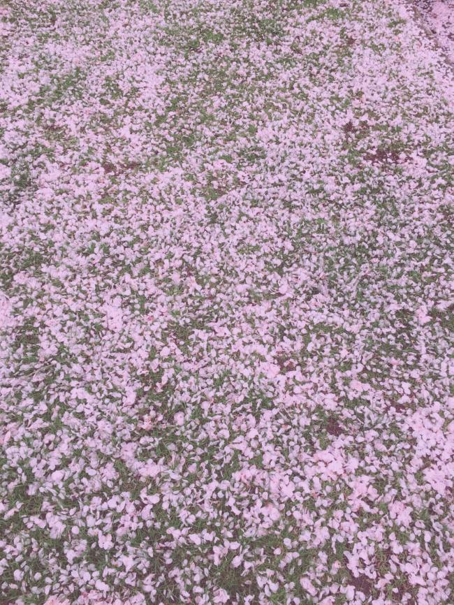 图六:樱花七日,红尘一地.jpg