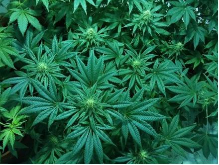 尴尬 卑诗大麻吸食率比全国其他省份都要多