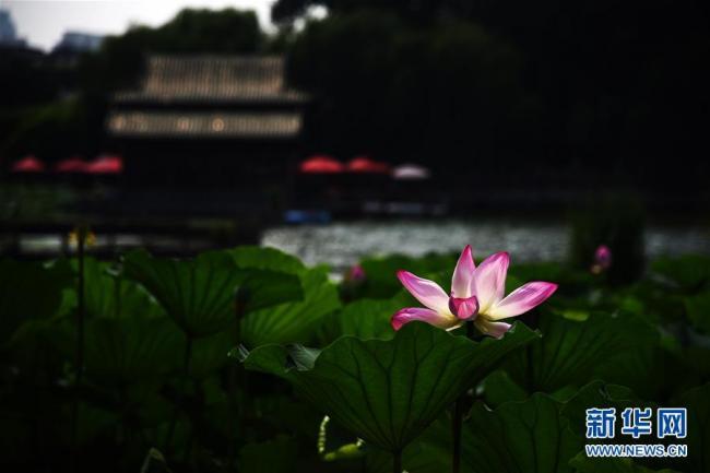 夏季清凉好去处 济南大明湖荷花美