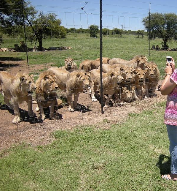 残忍!老虎和野生大型猫科动物为供应中药被残虐
