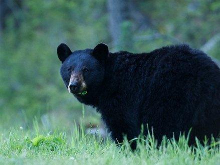 高贵林河黑熊袭击人类后被人道